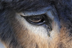 philco l'âne
